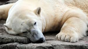 download wallpaper 1920x1080 polar bear resting thick full hd
