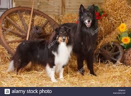 belgian sheepdog for sale uk belgian shepherd dog mouth stock photos u0026 belgian shepherd dog