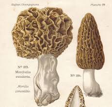 Morel Mushroom Map The Morel Of Our Story The Journal Of Wild Culture
