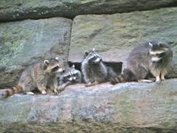 baby raccoons out walking the dog