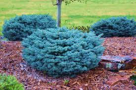 blue spruce landscaping greenhouses