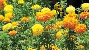 Flowers That Keep Mosquitoes Away Sunshine Incarnated Marigold Calendula U2014 Saturday Magazine U2014 The