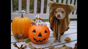 halloween star wars ewok dog trick or treat with tommy chihuahua