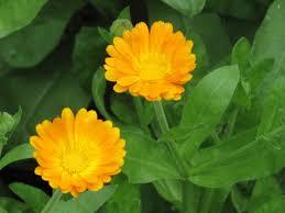 Calendula Flowers Golden Poppy Blog Calendula Flowers