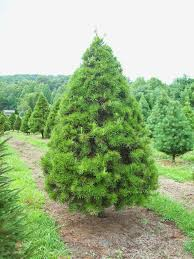 new jersey christmas tree farms christmas trees 2017