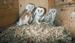 Barn Owls Habitat The Trophic Levels Of The Barn Owl Sciencing