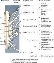 Bicep Innervation Lower Motor Neuron Spinal Nerve General Somatic Efferent System
