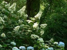 oakleaf hydrangea recreating landscape