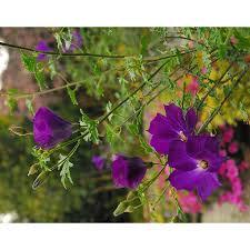 Shop Monrovia 2 6 Quart Purple Leon U0027s Purple Delight Lilac