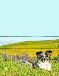 australian shepherd allergies allergy testing and treatment bingle vet