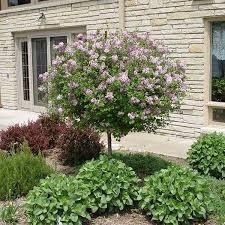 korean lilac trees nature nursery