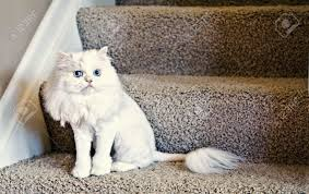 a cute white house cat with a lion haircut stock photo picture