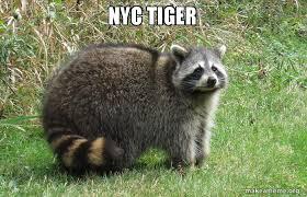 Meme Generator Raccoon - nyc tiger make a meme