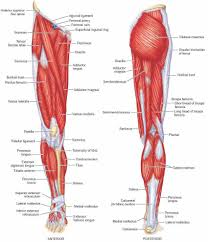 lower leg muscles diagram muscle archives page 26 of 36 human
