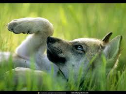 imagenes sorprendentes de lobos lobezno mis lobos pinterest