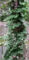 The Trellis And The Vine Best 25 Vines Ideas On Pinterest Wisteria Tree Wysteria Tree