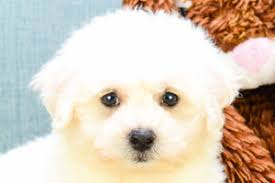 bichon frise breeders near me bichon frise puppies for sale small purebred puppies for sale in