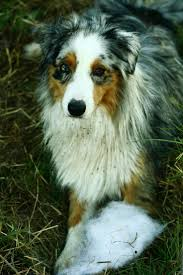 australian shepherd jogging 67 best shepherds images on pinterest animals doggies and sheep