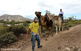 tenerife holiday guide camel park tenerife have an unique experience with these