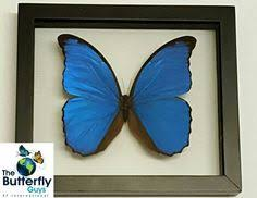 ef international the butterfly guys thebutterflyguys com