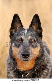 australian shepherd qld a 5 year old female australian cattle dog or queensland blue