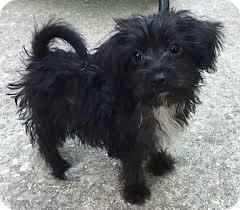 affenpinscher texas bea adopted puppy houston tx yorkie yorkshire terrier