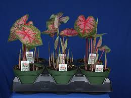 caladiums online bates sons and daughters high quality fancy