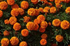 Plants That Repel Aphids by Theafterhoursflowers Com Flowers That Keep Away Bugs