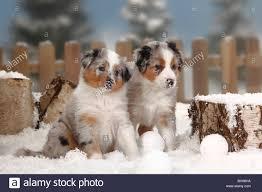 australian shepherd 8 months australian shepherd blue merle puppies 6 weeks snowballs