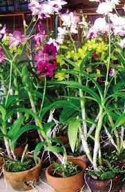orchid plants for sale orchid collecting grows into big business inquirer news