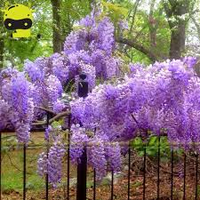 compare prices on blue wisteria online shopping buy low price