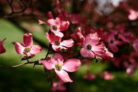 dogwood tree flowers trees free nature pictures by forestwander