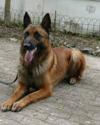 belgian shepherd origin personal and family protection dogs for sale delta canine
