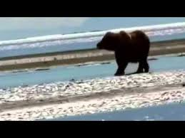 Animal Planet Documentary Grizzly Bears Full Documentaries - grizzly bears full documentaries animal planet national geographic