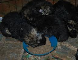 affenpinscher puppies cost german shepherd dog diet tip eggs keystone german shepherds