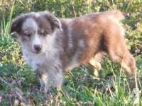 australian shepherd puppies 500 australian shepherd puppies 8 weeks old for sale in hill creek