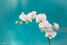 white orchids orchid stock photos and pictures getty images