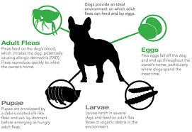 Area Rugs Victoria by How To Get Rid Of Fleas From Area Rugs In Victoria Bc