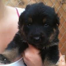 australian shepherd x rottweiler 9 best cute images on pinterest animals adorable animals and nature