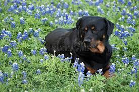Bluebonnet Flowers - rottweiler on a bluebonnet flowers royalty free stock photos