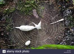 white slime mold growing out of tree trunk stock photo royalty