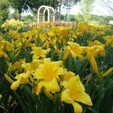 day lillies buttered popcorn oakes daylilies
