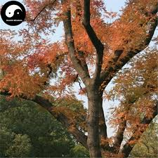 2017 buy real pistacia chinensis bunge tree seeds plant