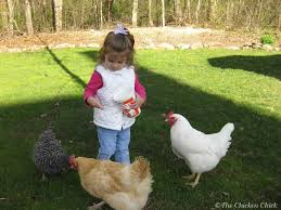 the chicken legalizing backyard chickens from a former