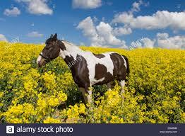 american indian horse equus ferus caballus pinto paint horse