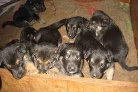 belgian sheepdog litters belgian sheepdog puppies for sale more info