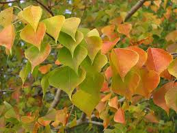 why do leaves change color and fall trees wnpr news