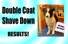 shaving a australian shepherd what happens to a double coat when you shave your dog youtube