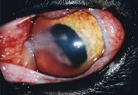Taking Care Of A Blind Cat Ocular Trauma In Dogs And Cats Animal Eye Care