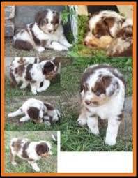 5 week old mini australian shepherd mini aussie pup for sale 2014 litter 5 callie pup 5 red merle